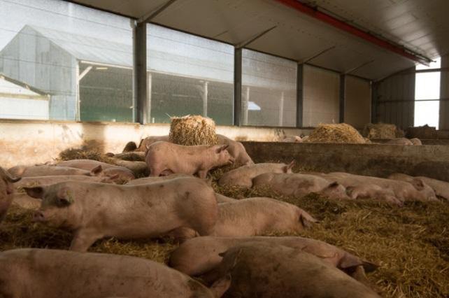 elevage de porc litiere 2