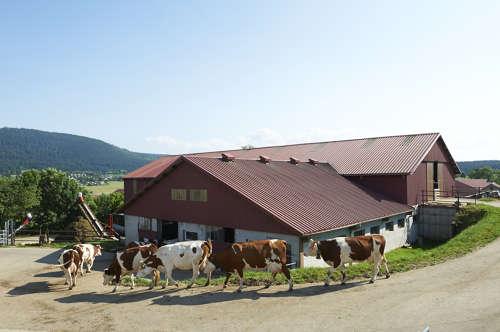 L'alimentation des vaches laitières